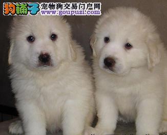 赛级品相防城港大白熊幼犬低价出售专业品质一流4