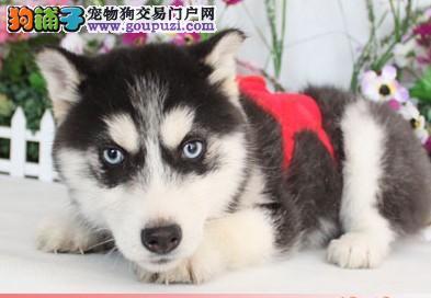 黔南州专业的哈士奇犬舍终身保健康签署各项质保合同