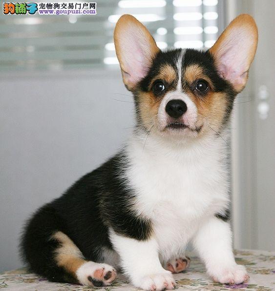 天津售威尔士柯基犬两色三色柯基英国女王犬幼犬
