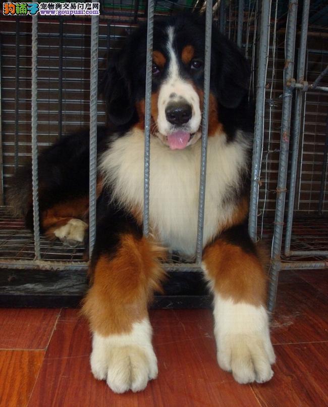 安庆市售优质伯恩山犬幼犬 伯尔尼兹山地犬公母都有