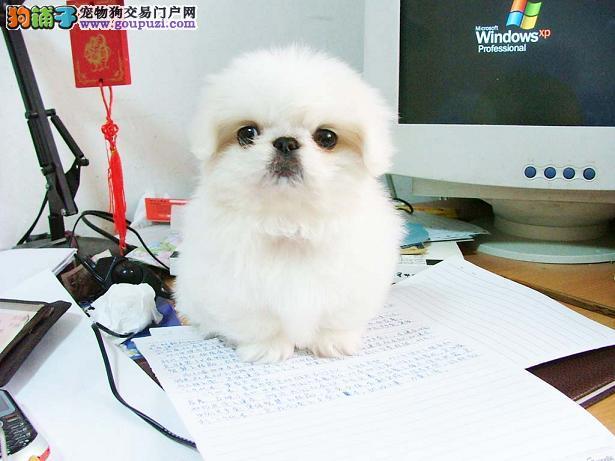 西双版纳售防疫全京巴犬幼犬宫廷狮子狗北京犬免运费
