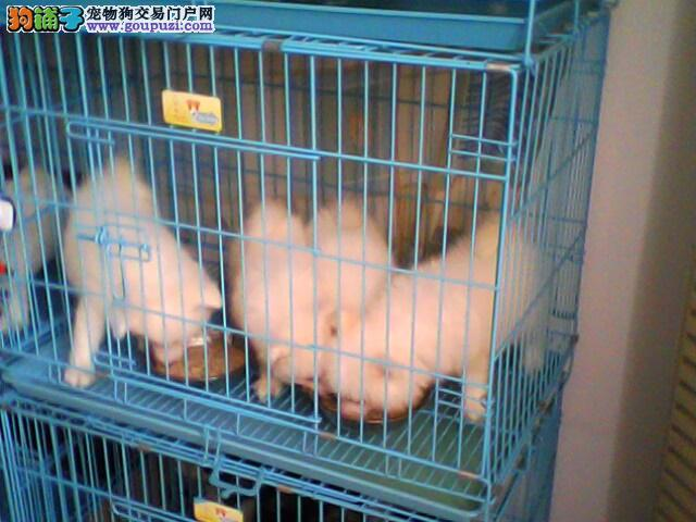 六角龙鱼怎么分公母图-银狐犬图片 日本银狐图片