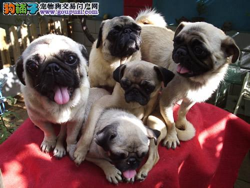 犬舍直销 八哥宝宝高品质推荐销售中 公母不分图片