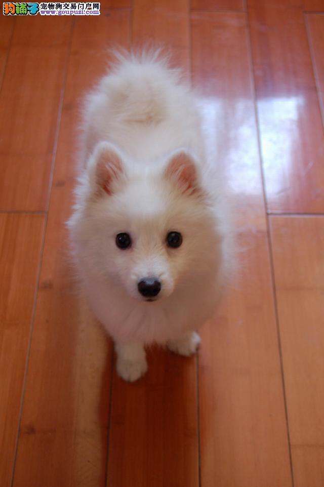 纯种的日本尖嘴犬(银狐犬)出售包健康可上门挑选包售后