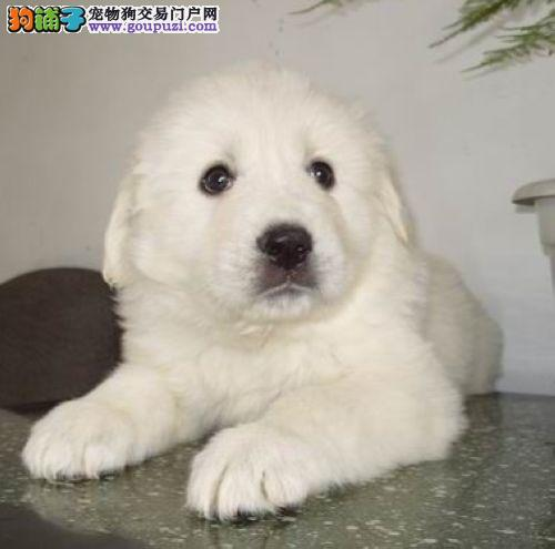 天津专业繁殖纯种大白熊幼犬出售 血统纯正