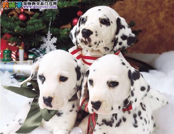 阜阳市出售斑点狗 纯种健康 三个月包退换 疫苗齐全