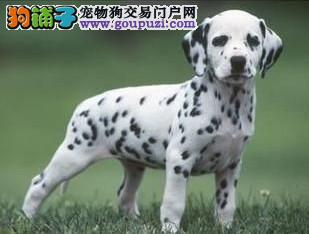 桂林售纯种斑点犬 斑点保证纯种健康 终身质保饲养指导