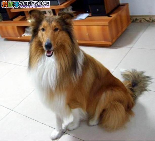 纯种苏格兰牧羊犬幼犬,完美品相 品质第一,购买保障售后
