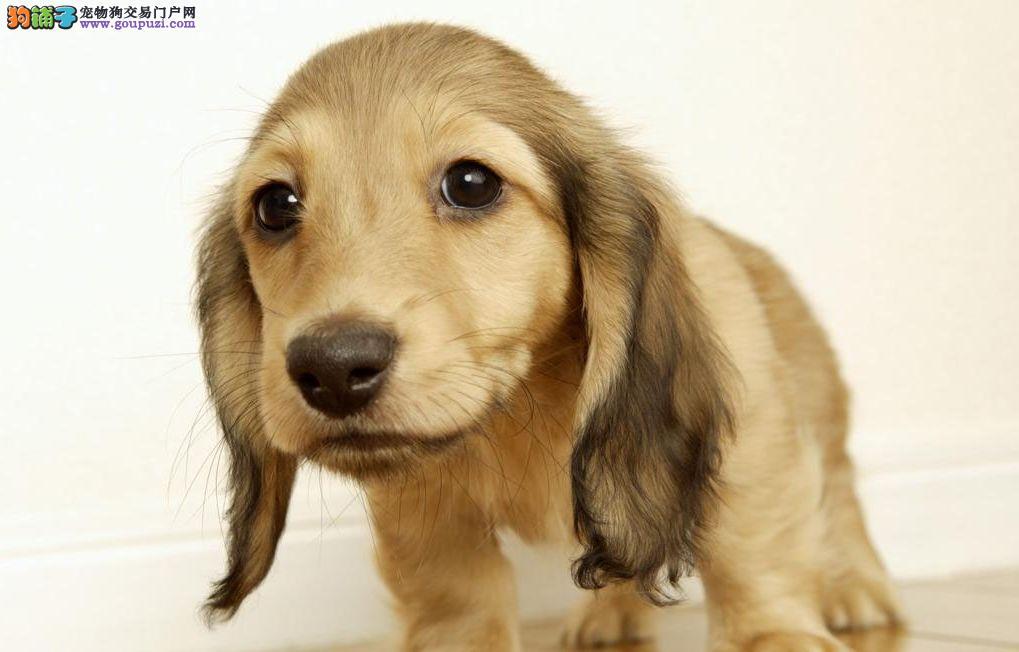 高品质的青岛腊肠犬找爸爸妈妈青岛市内免费送货