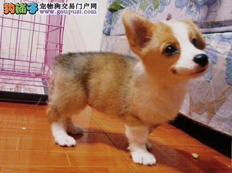柯基天津最大的正规犬舍完美售后带血统证书签活体协议