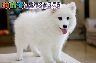 出售纯种健康的郑州银狐犬幼犬一宠一证视频挑选