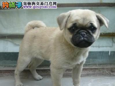 巴哥犬出售纯种巴哥犬幼犬出售犬舍饲养保证健康纯种