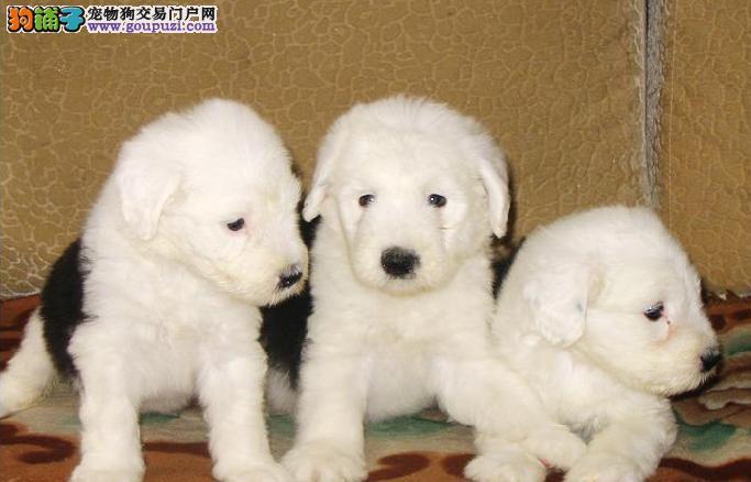 出售纯种古代牧羊犬,实物拍摄直接视频,提供养护指导