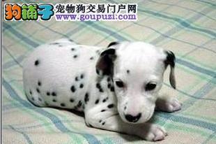 高品质斑点狗带血统出售中 终身质保 可签协议