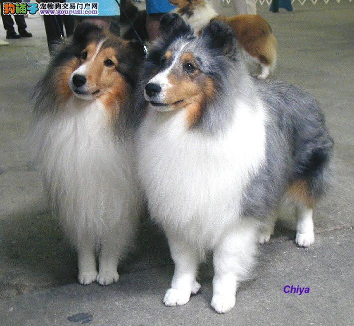 潍坊市出售喜乐蒂犬 可视频看狗全国发货可上门挑选