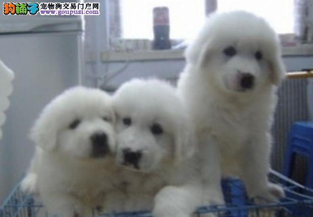 上海繁育雪兽系赛级大白熊幼犬 骨骼大 毛质好幼犬待售