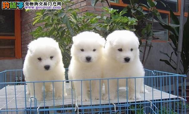 超小体大眼睛的合肥萨摩耶幼犬找新家 多只幼犬供选择