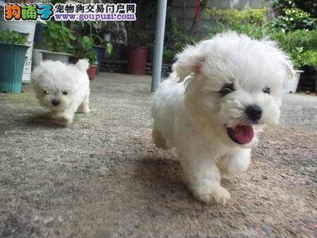 纯种可爱白色西高地幼犬