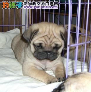 纯种虎头巴哥,表情忧郁狗狗。cku认证包纯种健康