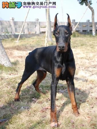 了解一些杜宾犬生活中常见的病症与疾病