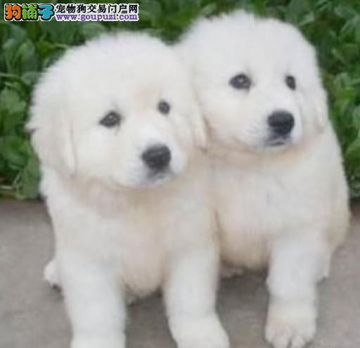 成都哪里有卖大白熊犬的 成都大白熊犬价格 多少钱1