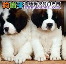 高端圣伯纳幼犬、假一赔十品质第一、签订正规合同