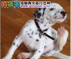 直销赛级斑点狗,自家繁殖保养活,购犬可签协议