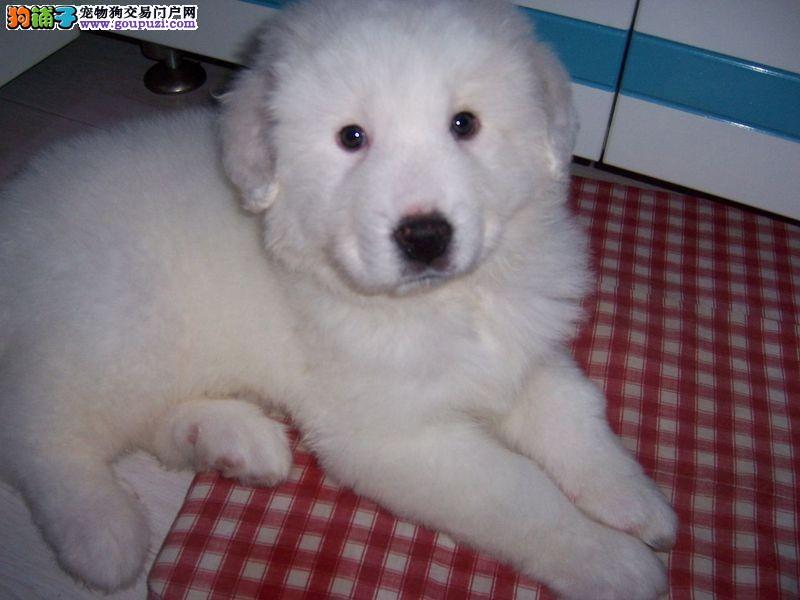 秦皇岛纯种大骨量大白熊犬王者风范品相纯正保健康品质