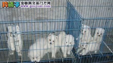 百分百健康纯种银狐犬成都热卖中微信看狗真实照片包纯