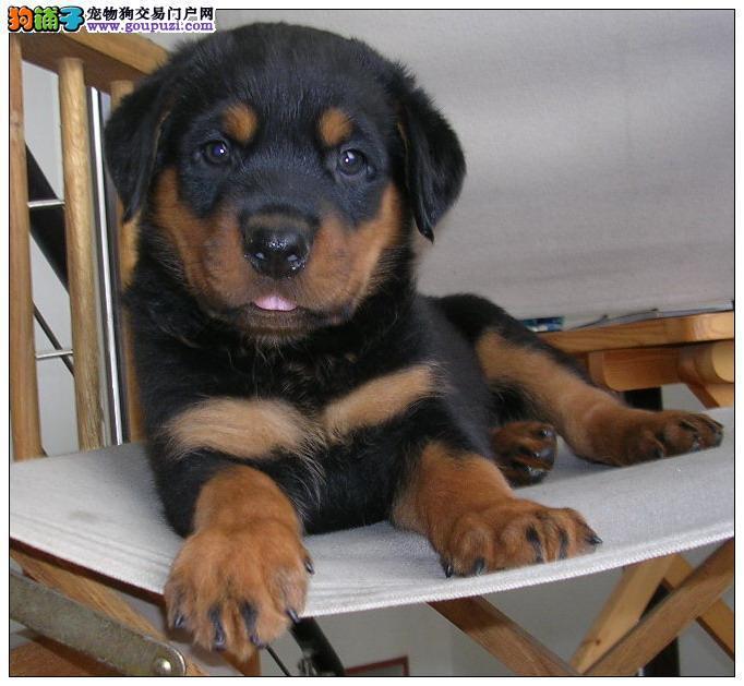 三、四个月大小罗威纳转让 父亲血统极好且是冠军犬