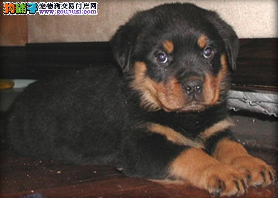 南京哪里出售罗威纳犬 罗威纳犬价格多少钱3