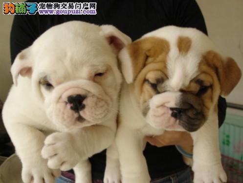 天津汉沽区纯种英斗 英牛犬 英国斗牛犬公狗幼犬出售