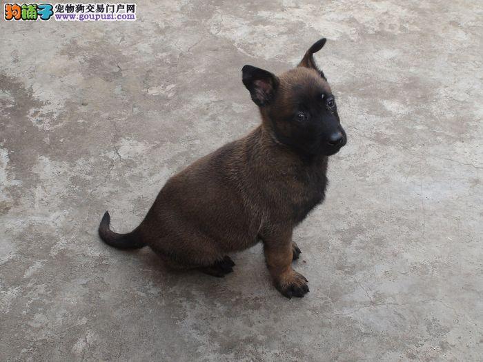 阳泉赛级比利时马犬幼犬出售 大骨架 疫苗做完