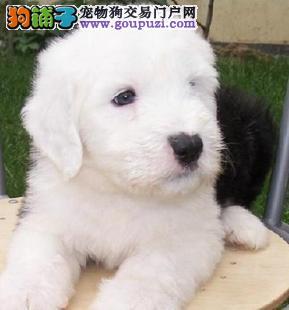 福州出售纯种古牧宝宝 古牧幼犬特价出售