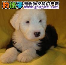 出售纯种健康白头古牧幼犬宝宝