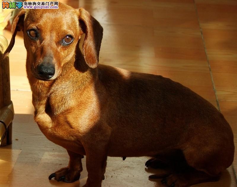 自家养殖纯种腊肠犬低价出售可签合同刷卡