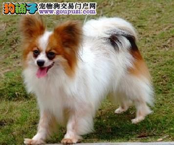 长沙出售蝴蝶犬幼犬品质好有保障终身售后送货