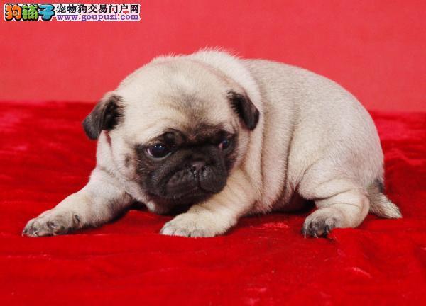 贵阳繁殖出售巴哥犬保纯健康疫苗驱虫均已做可签协议