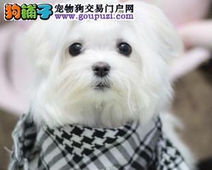 马尔济斯犬长沙 长沙转让小型幼犬 宠物狗纯白犬已认证