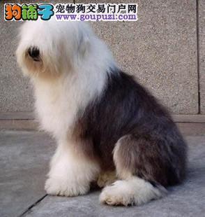 高品质古代牧羊犬热销、顶级品质专业繁殖、提供养狗指导
