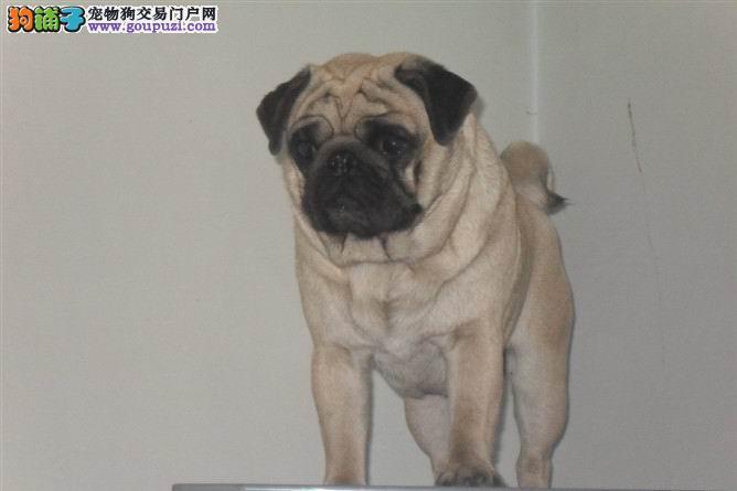 CKU认证犬舍出售高品质 巴哥 低价出售 送用品