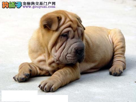 纯种沙皮斗犬 中国斗犬之魂 厦门优质繁殖 数量有限