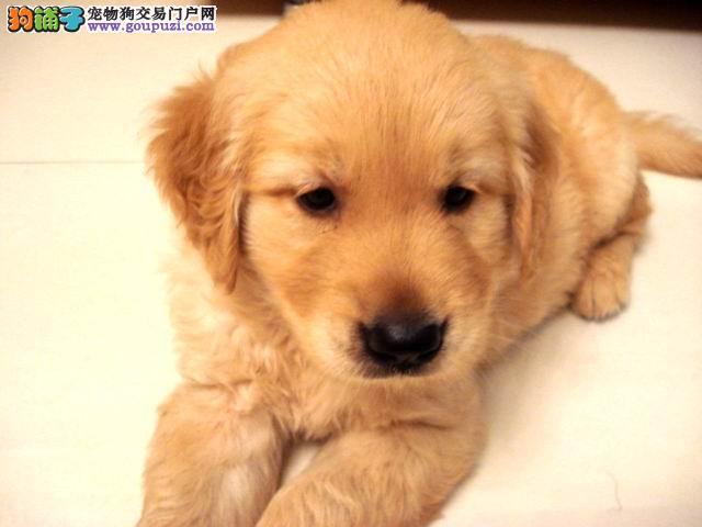 高品质纯种可爱金毛幼犬火热销售中!