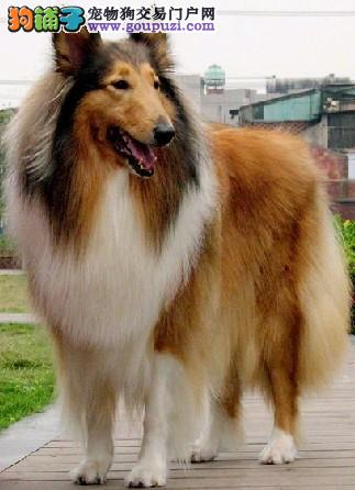 高品质苏格兰牧羊犬宝宝 专业繁殖血统纯正 提供养狗指导