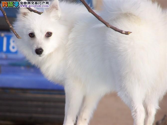 繁殖基地出售纯种宠物犬日本银狐宝宝.售后包健康1