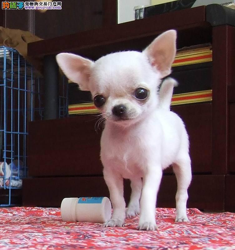 纯种墨西哥吉娃娃 苹果头小体型吉娃娃幼犬图片