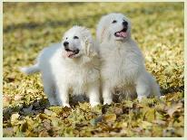 家养纯种憨厚可爱大白熊宝宝,拒绝不爱狗的