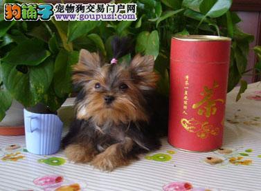 基地专业繁殖一精品约克夏幼犬一质保售后包终身一签协