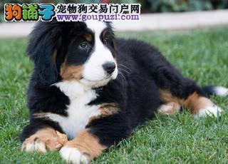 低价出售高品质伯恩山成犬及宝宝