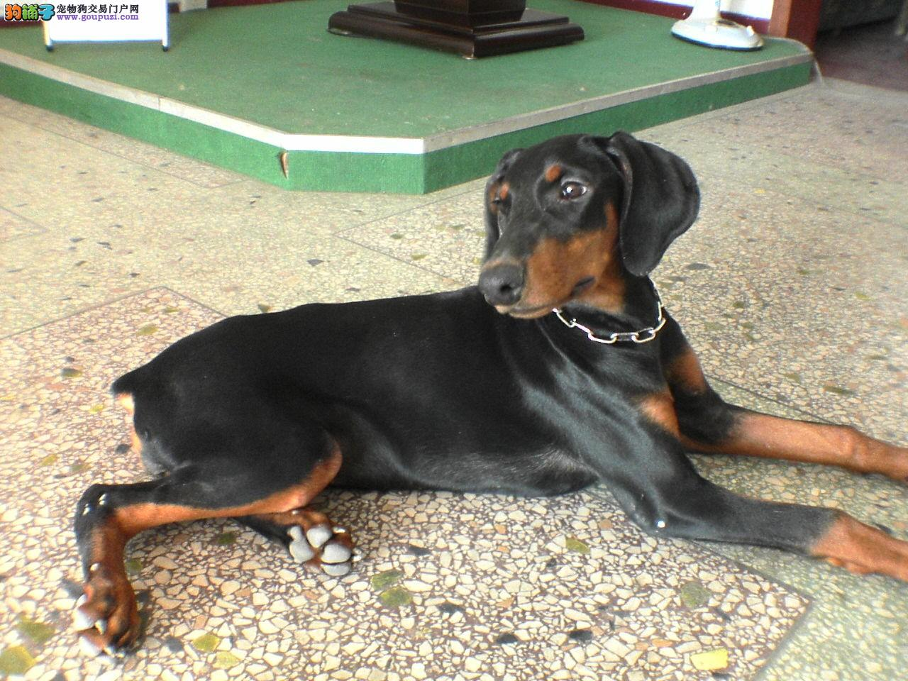 德宏州出售杜宾犬公母都有品质一流终身售后保障
